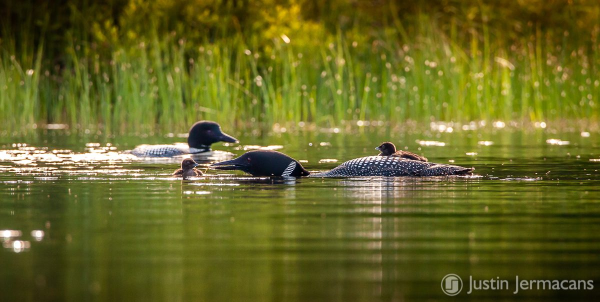 Little Loon Feeding - Lake Ninevah, VT