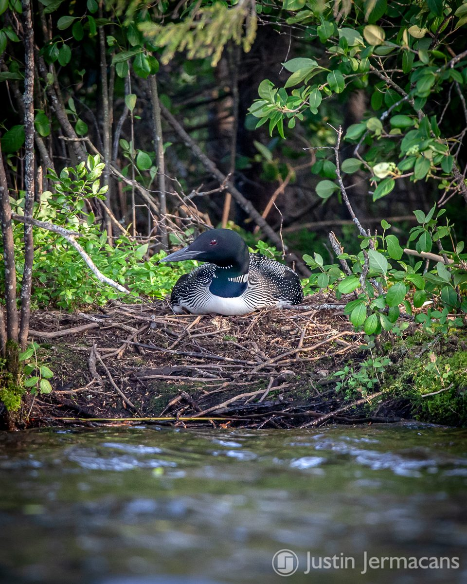 Nesting Loon - Lake Ninevah, VT #vermont #commonloon #lakeninevah